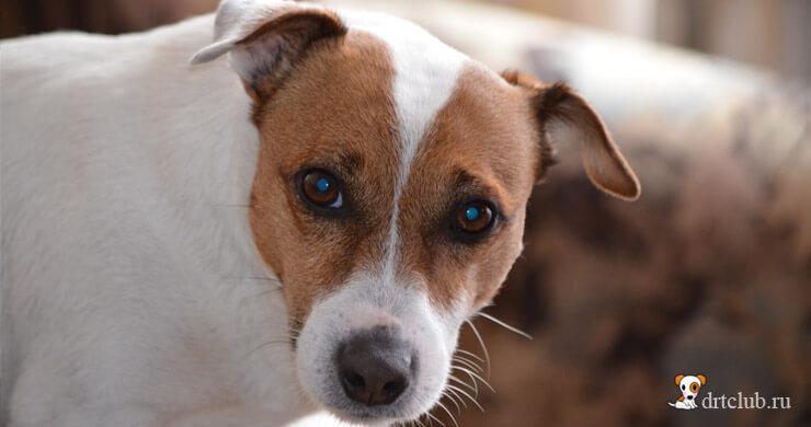Лечение глаз у собак