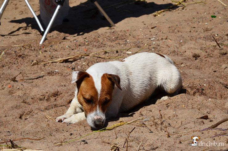 Песочная собака устала