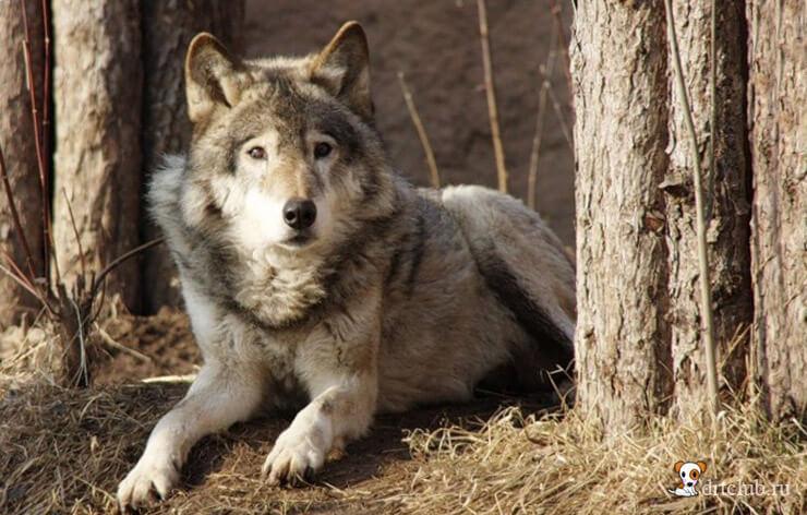 Предками собак были волки
