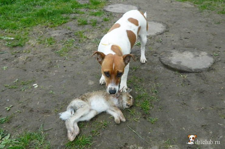 Ума поймала зайца