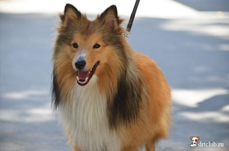 Счастливый собачонок
