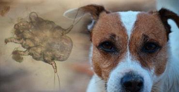 Отодектоз у собак