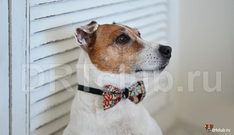 Джекушка в галстуке-бабочке