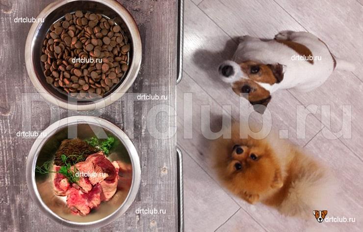 Как перевести собаку на сыроедение