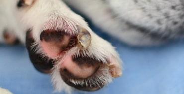 Симметричная люпоидная ониходистрофия у собак