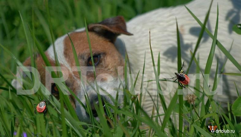 Профилактика возникновения пироплазмоза у собаки