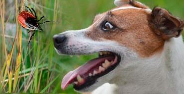 Как распознать бабезиоз у собак