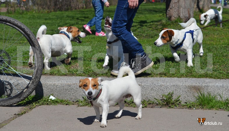 Не приводите свою течную суку в места скопления собак