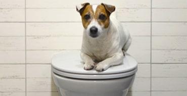 Почему ваша собака смотрит на вас в туалете
