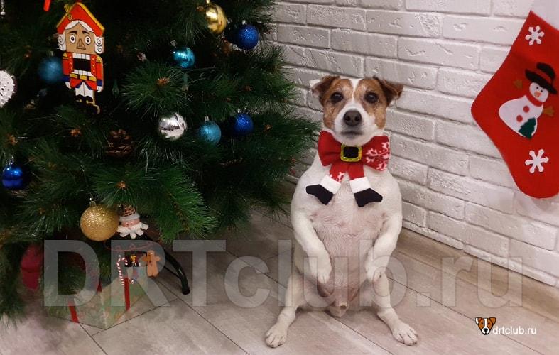 Бабочка Санта Клауса для собаки