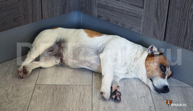 Панкреатит у собак: симптомы, лечение