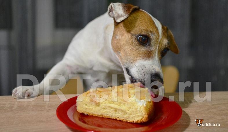 Шарлотка для собаки: можно или нельзя