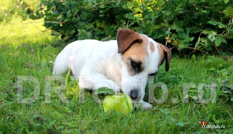 Как часто можно давать собаке яблоко