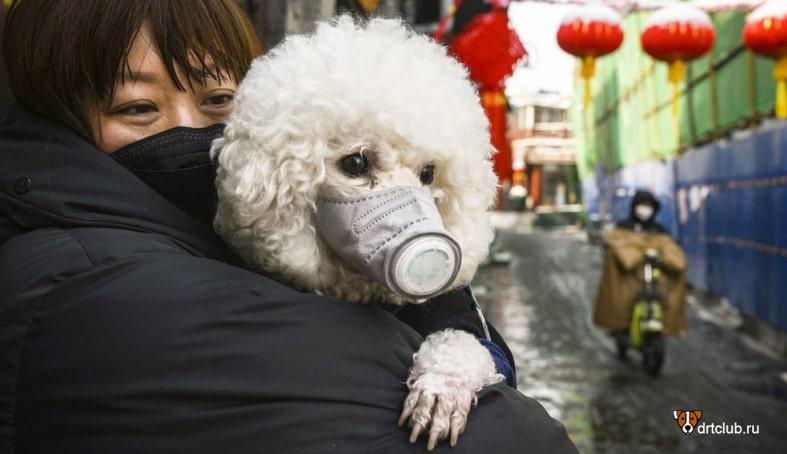 Может ли собака заразиться и заболеть коронавирусом COVID-19