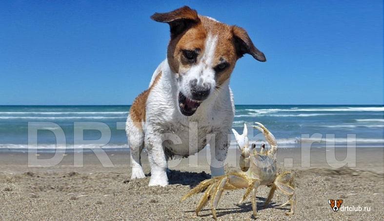 Собака играет с крабом