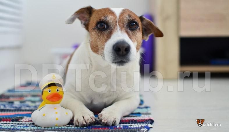 Отит у собак: симптомы, лечение