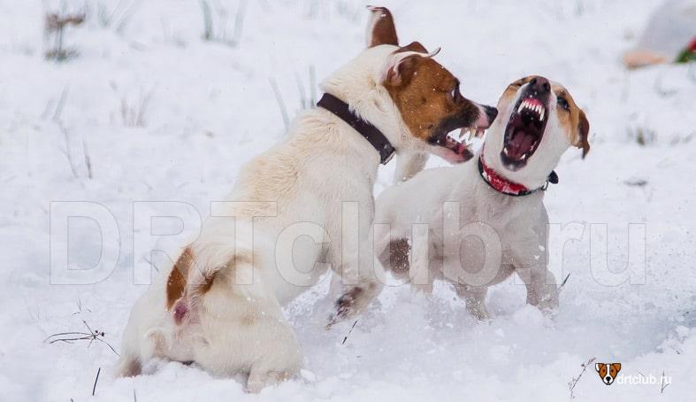 Собаки дерутся за мячик