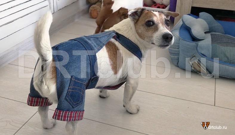 Как сшить джинсы для собаки своими руками