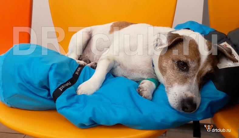 Подготовка собаки к кастрации