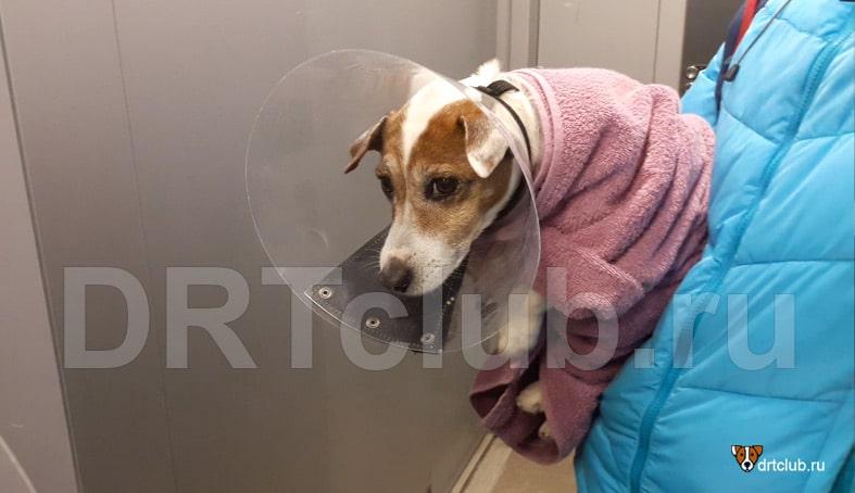 Уход за собакой в первый день после операции